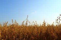 овсы овса поля урожая Стоковое фото RF