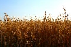 овсы овса поля урожая Стоковое Изображение