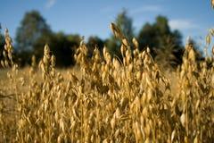 овсы овса поля урожая Стоковая Фотография RF