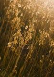 овсы Стоковое фото RF