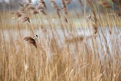 Овсянка общего Reed Стоковое фото RF