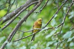 Овсянка птицы леса Citrinella Emberiza Стоковые Фотографии RF