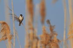 Овсянка Reed внутри тростников стоковое фото rf