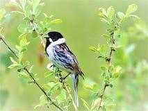 Овсянка Reed поя на заповеднике Stavely, доверии живой природы Йоркшира стоковое фото rf
