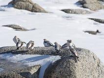 Овсянки снега на утесе Стоковая Фотография