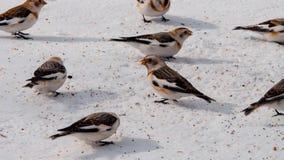 Овсянки снега Стоковая Фотография RF