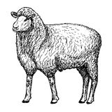 Овца вручает чертеж иллюстрация штока