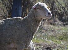 Овца в выгоне в Carson City, Неваде Стоковая Фотография RF