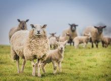 Овца в поле с ним детеныши ` s ягнится Стоковое Фото