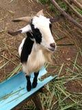 Овца в туристической достопримечательности Таиланда Стоковая Фотография RF