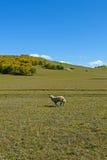 Овца в луге Стоковое Изображение