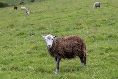 Овца в южных спусках Стоковые Изображения RF