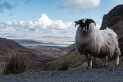 Овца горы в ландшафте горы ` s обширном Donegal Ирландии Стоковое Изображение