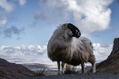 Овца горы в ландшафте горы ` s обширном Donegal Ирландии Стоковое фото RF