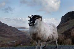 Овца горы в ландшафте горы ` s обширном Donegal Ирландии Стоковые Фото