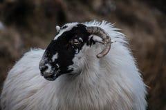 Овца горы в ландшафте горы ` s обширном Donegal Ирландии Стоковые Изображения