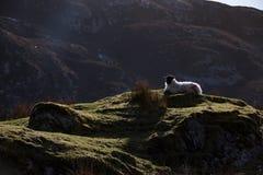 Овца горы в ландшафте горы ` s обширном Donegal Ирландии Стоковая Фотография RF