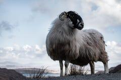 Овца горы в ландшафте горы ` s обширном Donegal Ирландии Стоковые Фотографии RF