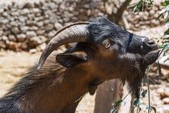 Овца горы ест листья оливкового дерева Стоковая Фотография RF