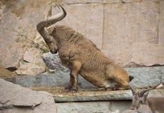 Овца горы поднимает к его ногам Стоковое Фото