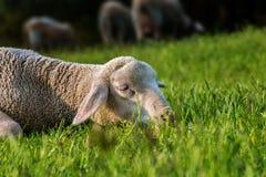 Овца лежит в траве Стоковое Изображение RF