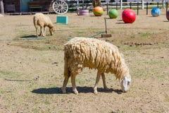 Овца ест в ферме Стоковые Изображения