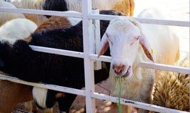 Овца ест некоторую траву Стоковые Изображения