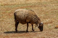 Овца ест сухую траву в ферме деревни Стоковые Изображения