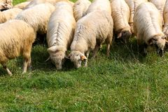 Овца ест траву Стоковые Изображения RF