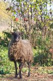 Овца идет в сад Стоковая Фотография