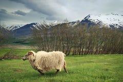 Овца идет на луг в Исландии Стоковые Фото