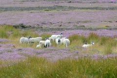 Овца и вереск на северном Йоркшире причаливают Великобританию Стоковое Фото