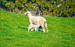 Овца и овечка в выгоне, Окленд, Новая Зеландия Стоковое фото RF
