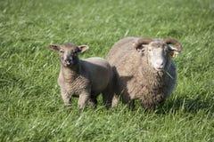 Овца и овечка Дорсета Стоковое фото RF
