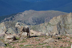 Овца и овечка снежных баранов Стоковая Фотография