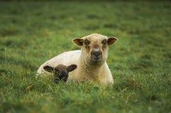 Овца и овечка Стоковая Фотография