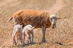 Овца и овечки, Мальорка Стоковое Изображение