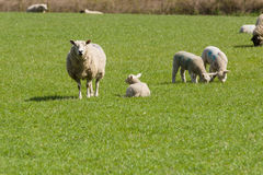 Овца и овечки Стоковое Изображение