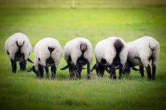 Овца на луге Овца на ферме есть траву