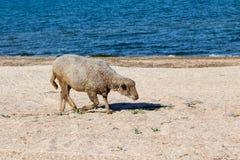 Овца на пляже Стоковое Изображение RF
