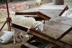 Овца на ферме Стоковое Фото