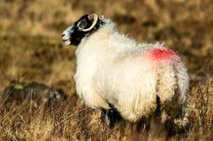 Овца на шотландском приусадебном участке, женская овца смотря к левой стороне Стоковые Изображения