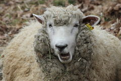Овца не говорит Стоковое Фото
