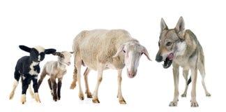 Овца, овечки и волк Стоковое Изображение