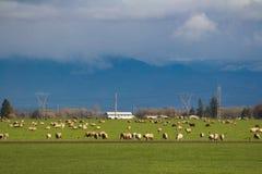 Овцы пася в долине стоковая фотография rf