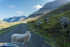 Овца преграждает дорогу без тревожиться Стоковая Фотография