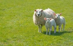 Овца при ее овечки представляя в луге Стоковая Фотография