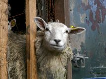 Овца смотрит, взгляды украдкой через полки конюшни, с пуком солом в ее шерстях стоковые фото