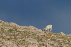 Овца снежных баранов пася на Ридже Стоковые Фотографии RF
