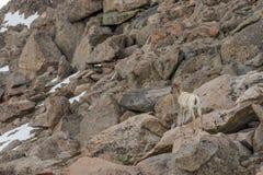Овца снежных баранов скалистой горы Стоковое фото RF